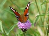 thumbnail - Schmetterling im Fuhrtsbachtal
