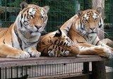 thumbnail - Die Bewohner des Tigergartens.