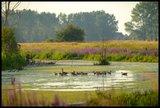 thumbnail - Wildgänse im Wasser mit Blumenumsäumten Ufer