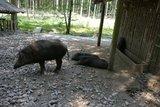 thumbnail - Wildschweingehege