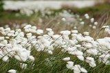 thumbnail - Wollgrasblüte