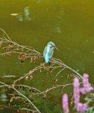 thumbnail - Eisvogel an der Nagold